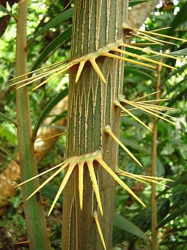 rattan tree