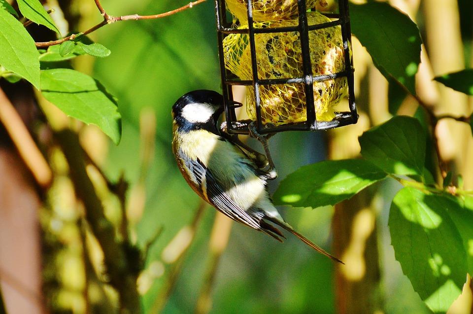 bird feed tit