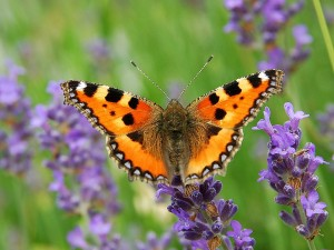 Small tortoiseshell butterfly (Aglais urticae) lavender What is a weed