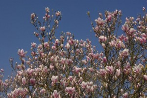 Magnolias in flower - where to see them and other seeds to sow