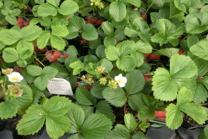Strawberry plants have pretty flowers now, and offer a pudding to savour in the summer.