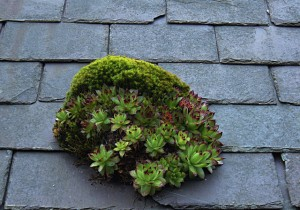 Houseleek and stonecrop on a roof, near Cilcain, Flintshire.