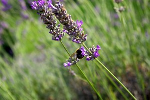 Lavender is a herb with relaxing properties, good for the exam period.
