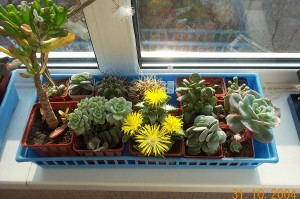 A small collection of succulents, faukaria blooming by Mr.Rosewater. Succulent