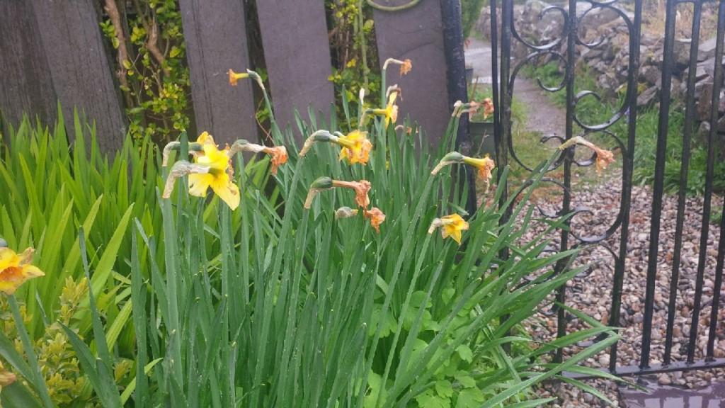 May daffodils in Gwynedd need deadheading. MIss Marple