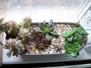 Sedum Rubrotinctum, Echeveria Black Prince, Crassula Radicans and Crassula Bride's Bouquet. Succulent