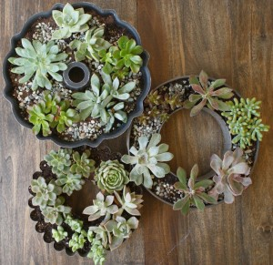 Succulents in a ring cake tin (bundt tin). Succulent growing.
