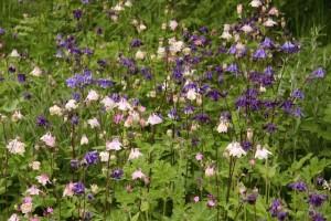 What is Miss Marple doing in her garden? Deadheading, secateurs