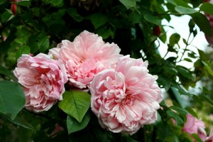 Rose 'Albertine' in Claude Monet's garden, Giverny in Eure, France. Roses