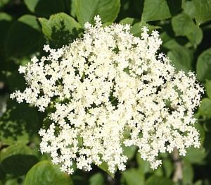 Elder flowers (Sambucus nigra). Elderflower cordial
