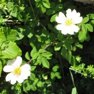 Field Rose (Rosa arvensis), generally thought to be Shakespeare's sweet musk rose