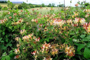 Honeysuckle near Comber and Lisbane, County Down. Pruning