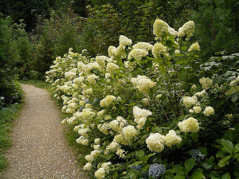 Seasonal plants: think about hydrangeas