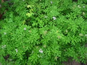 Pelargonium 'Mint Rose' at Ryton Organic Gardens, near Rugby, Warwickshire. Pelargoniums.