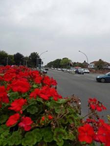Red zonal pelargoniums, Peaks Parkway, Grimsby.
