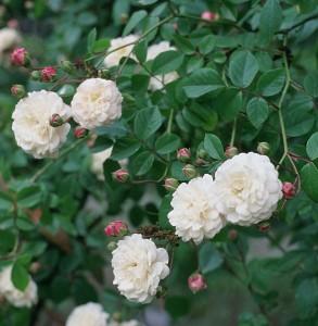 Rosa 'Félicité et Perpétue', Royal Botanic Garden, Madrid. Roses