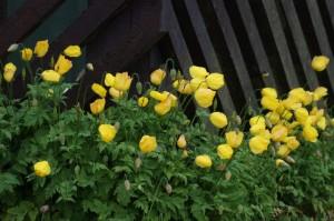 Welsh Poppies, Baltasound, Shetland. A garden plant which freely naturalises. Glyphosate