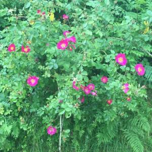 Sweet Briar or Eglantine, Rosa rubiginosa, Vale of Rheidol