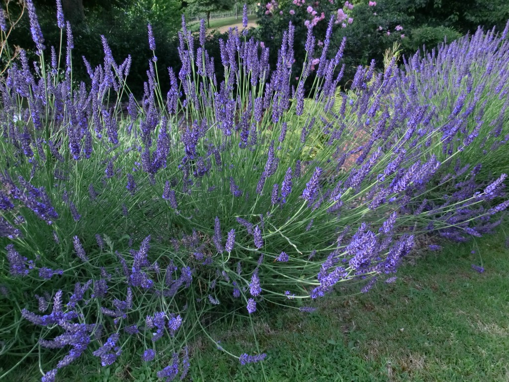 Lavender is good for you. Companion
