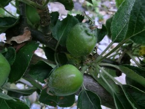 Apples thinned to two fruits. Summer fruit
