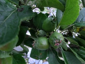Thin apples. Summer fruit