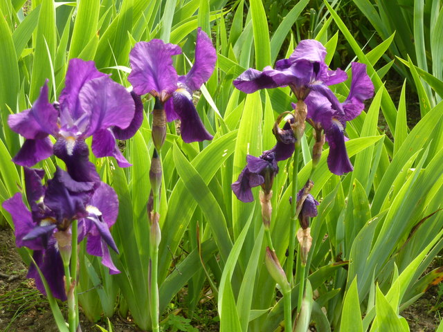 Bearded irises: divide them now for healthy plants, full of flowers next year
