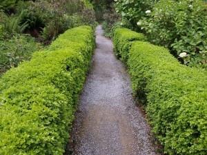 Box hedges, Greenway, Devon. Roots