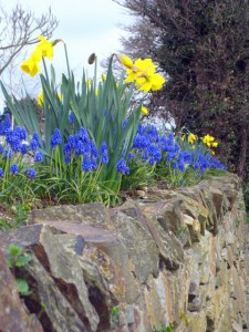 Colourful daffodils and grape hyacinths on a Cornish hedge beside the Gannel, Cornwall. Spring bulbs