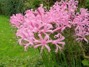 Autumn flowering bulbs gleam from September to November