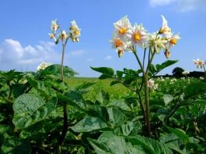 Potatoes in flower near Llanychaer, Pembrokeshire. Early potatoes