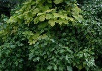Golden hop and ivy - layer to grow new plants from old