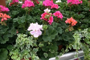 5 ways to care for your summer containers
