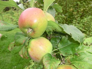 An apple a day .... find out how to choose a ripe one!