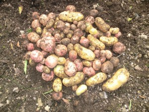Potatoes - an unusual Valentine's Day gift!