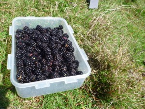 Blackberries picked on Wart Hill, Edgton, Shropshire