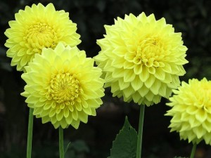 Dahlias give you parrots and sunshine in your garden