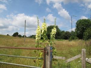 Hollyhocks on a fence post near Ford, Wiltshire. Self-seeding