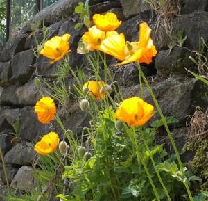 Welsh poppies growing on a garden wall, near Winterbutlee Lock, Rochdale Canal, Walsden, Calderdale. Self-seeding