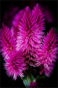 Celosia. Colour