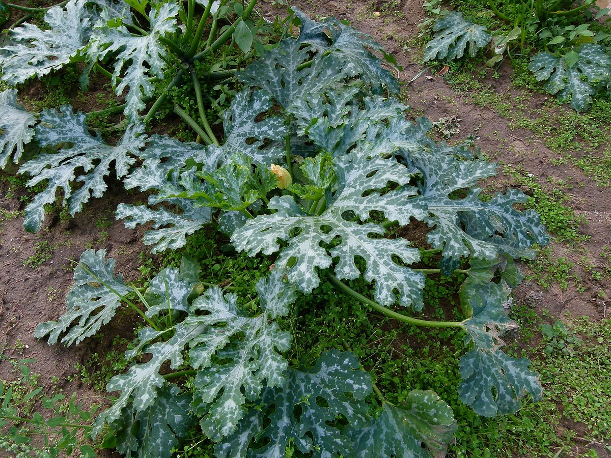 Frost! Stop feeding pot plants and cover those tender courgettes!