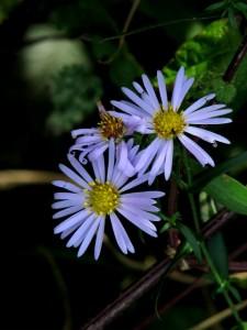 Michaelmas daisies near Thursford Green, Norfolk