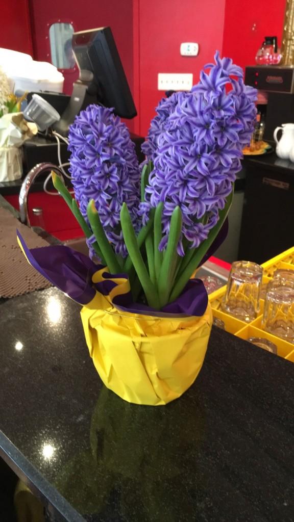 hyacinth. Festive plant pots