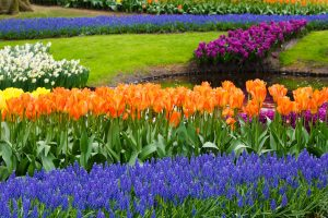 Orange tulips with blue grape hyacinths. Colour