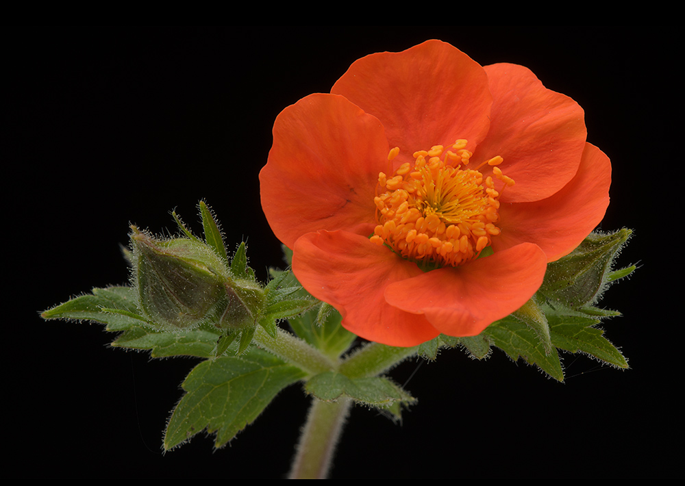 Geums are colourful easy plants to grow and look great