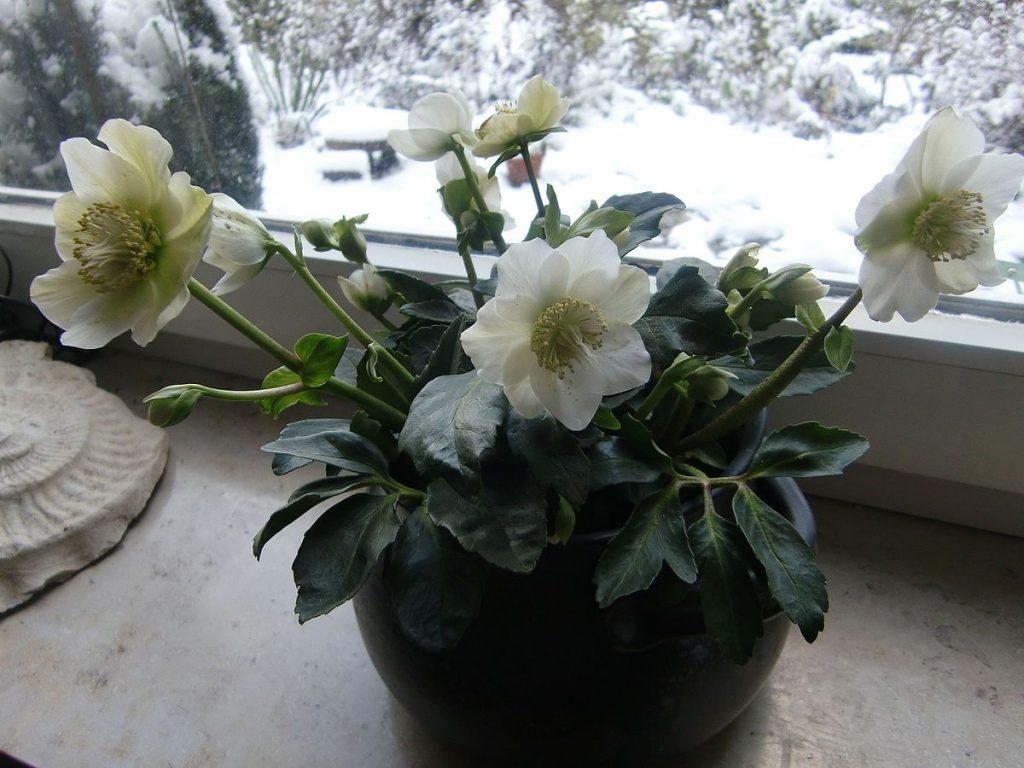 The Christmas or Lenten rose (Helleborus niger). Houseplants