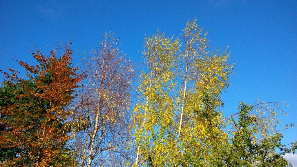 Silver birch, Conwy. Autumn rains