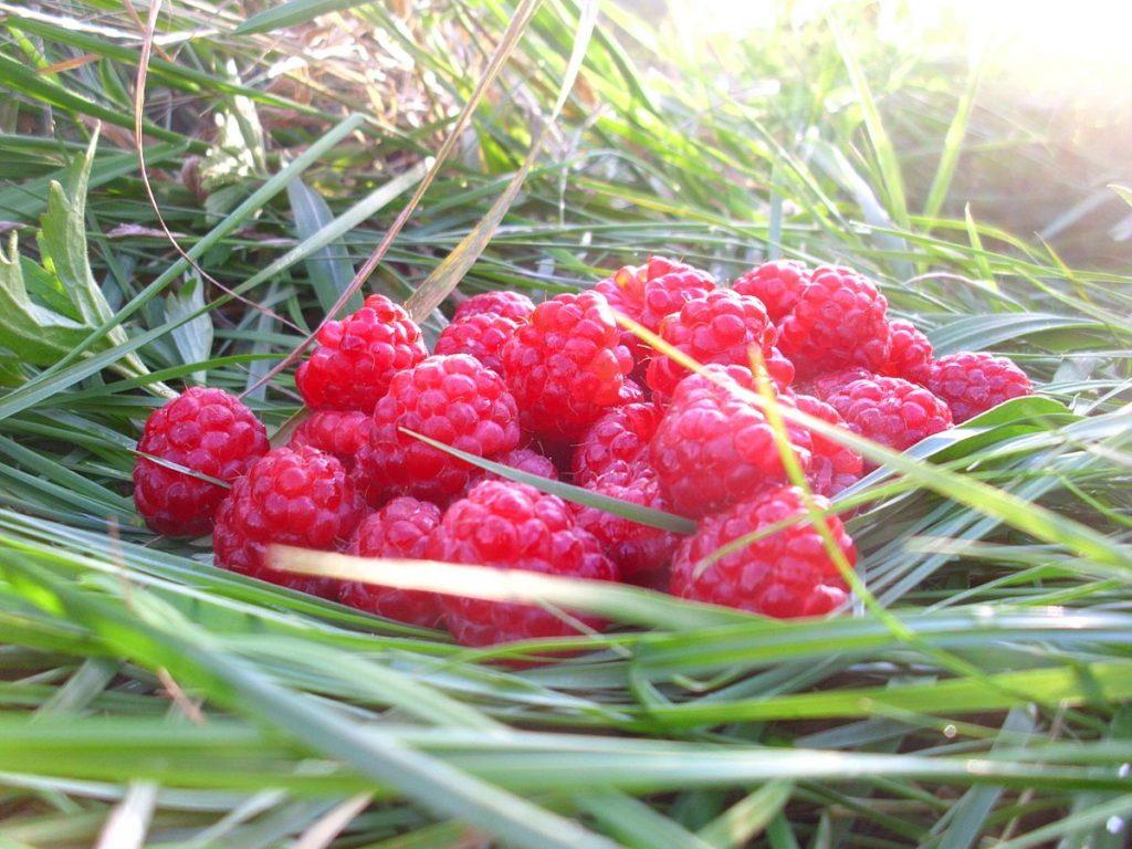 Raspberries on grass. summer-fruiting