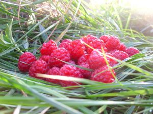 Plant summer-fruiting and autumn-fruiting raspberries