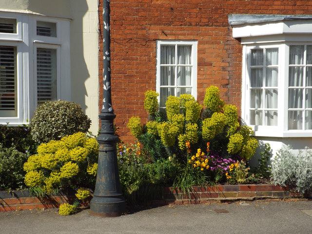 Mediterranean or Albanian Spurge in a front garden, High Street, Kenilworth. Low maintenance