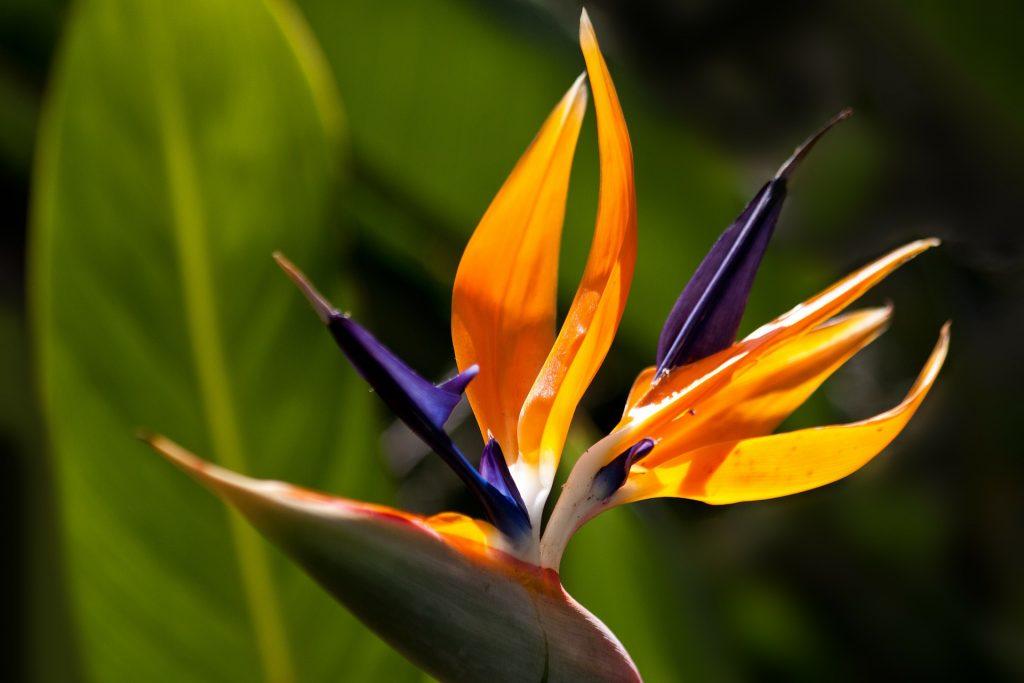 Strelitzia reginae, the bird of paradise flower. Garden dreams